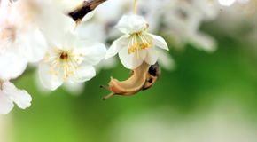 Slak op de bloeiende boom Stock Foto