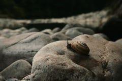 Slak op de rots Stock Afbeeldingen