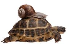 Slak op de schildpad Stock Fotografie