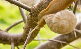 Slak op de tak van boom Stock Afbeeldingen