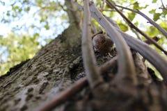 Slak op een boom Stock Afbeelding