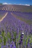 Slak op een lavendelgebied Royalty-vrije Stock Fotografie
