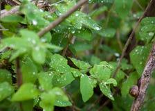 Slak op een Tak met een Groene Achtergrond stock afbeelding