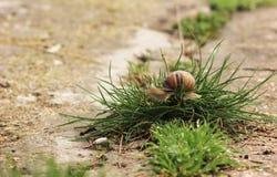 Slak op het gras Stock Foto's