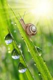 Slak op met dauw bedekt gras Stock Afbeelding