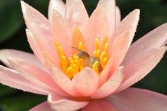 Slak in roze lotusbloem Royalty-vrije Stock Foto's