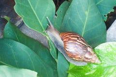 Slak (Schroefpomatia, de slak van Bourgondië, Roman slak, eetbare slak, Royalty-vrije Stock Afbeelding