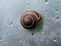 Slak in shell Royalty-vrije Stock Afbeelding