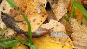 Slak zonder shell in de herfstgebladerte stock video