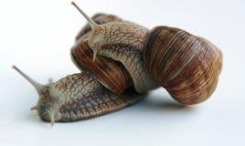 Slakken Stock Afbeelding
