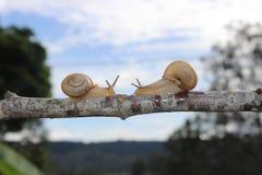 Slakken die in het midden van een tak samenkomen Stock Foto's