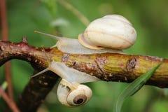 Slakken die die op een stam, macro glijden met groene achtergrond wordt geschoten stock fotografie