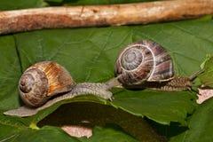 Slakken op een ras Stock Afbeelding