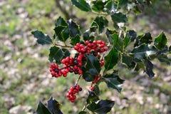 Slaktares kvastbuske Fotografering för Bildbyråer