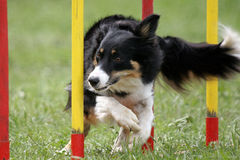 Slalom - agility. A border collie doing slalom royalty free stock images