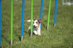 Slalom running do cão feliz na agilidade Fotografia de Stock Royalty Free