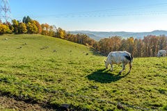 SLandscape with Belgian cows in the ardennes Royalty Free Stock Images