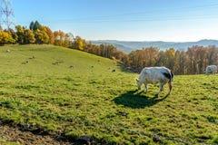 SLandscape com as vacas belgas no ardennes Imagens de Stock Royalty Free