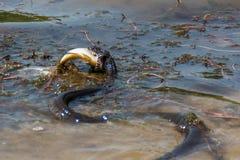 Slang die vissen in rivier eten Royalty-vrije Stock Afbeelding