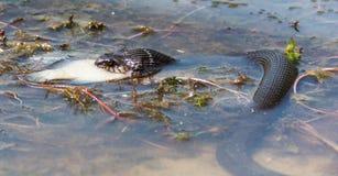 Slang die vissen in rivier eten Stock Foto's