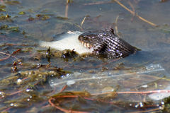 Slang die vissen in rivier eten Stock Foto