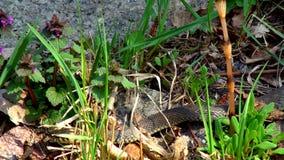 Slang in het Gras stock footage
