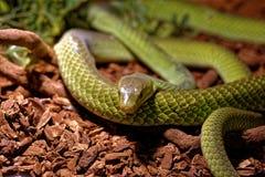 Slang in terrarium - Groene rattenslang Stock Afbeeldingen