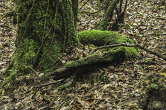 Slangboom in heilig bos mawphlang Stock Foto's