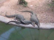 slangen van het de hagedis de reptielvergift van de hagedismonitor royalty-vrije stock afbeeldingen