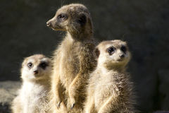 Slank-de steel verwijderde van Meerkats royalty-vrije stock afbeelding