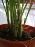 Slanke boomstam van groene zakkokosnoot stock afbeelding