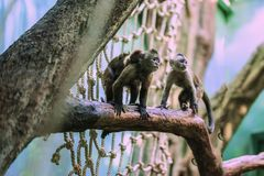Slanke capuchin apen, soort Cebus, familie op boomtak met kleine slaapwelp, moeder ouderlijke zorg  stock fotografie