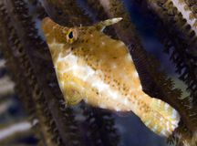 Slanke Filefish Royalty-vrije Stock Fotografie