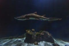 Slanke haai die de schaduwen van een aquarium binnensluipen Royalty-vrije Stock Foto's