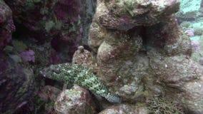 Slanke leucogrammicus van tandbaarsanyperodon zoals gebruikelijk rust op de steen in Rode overzees stock footage