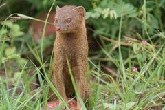 Slanke mongoes Royalty-vrije Stock Afbeeldingen