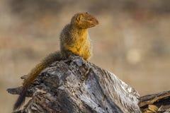 Slanke mongoes in het Nationale park van Kruger, Zuid-Afrika Royalty-vrije Stock Fotografie