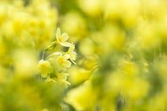 Slanke sleutelbloem, Oxlip, Primula elatior zdjęcie royalty free