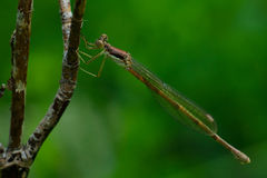 Slanke Spreadwing Damselfly Stock Afbeelding