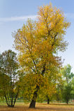 Slant tree with yellow autumn coat Stock Photo