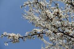 Slanted branch of blossoming Prunus cerasifera against blue sky. Slanted branch of blossoming Prunus cerasifera tree against blue sky stock image