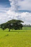 Slanted dark green tree alone in rice field, Karnataka, india. Royalty Free Stock Image