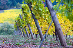 Slanted Grapevines. Fall is arriving at this Oregon winery, with colors changing from green to yellow Stock Images
