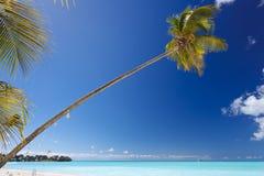 Slanted Palm Tree At Caribbean Beach, Antigua. A single palm tree at a beautiful caribbean beach in Antigua with blue sky Stock Photography