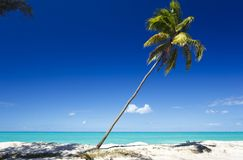 Slanted Palm Tree At Caribbean Beach, Antigua. A single palm tree at a perfect caribbean beach in Antigua with blue sky Royalty Free Stock Photography