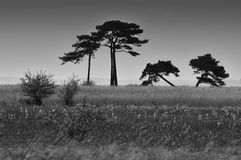 Slanted pine trees in a field Stock Photography