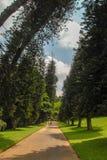Slanted trees in Kandy botanical garden royalty free stock images