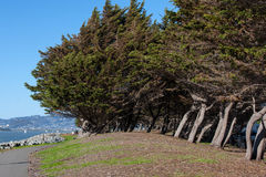 Slanted trees on a sea coast. In san franscisco Stock Photography