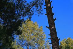 Slanted trunk of pine tree stock photo