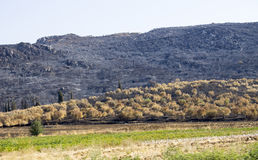 Slanting field burned by fire near dry trees. A large burned field on the slope of a low mountain somewhere in Greece, near a dry olive tree plantation stock photos